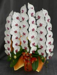 大輪 胡蝶蘭3本立 プレミアム リップ