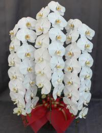 大輪 胡蝶蘭3本立 プレミアム 白