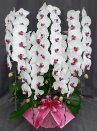 大輪 胡蝶蘭5本立 プレミアム リップ