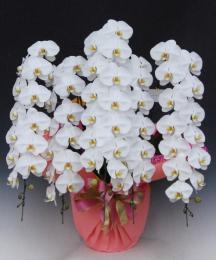 大輪 胡蝶蘭5本立 プレミアム 白
