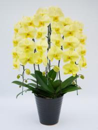 大輪 胡蝶蘭3本立 エレガント 黄色