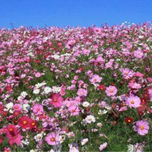 9月のお花 コスモス
