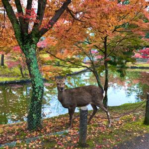 紅葉狩り 奈良公園🍁