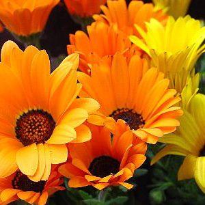 ❀〜今日の誕生花〜❀ディモルフォセカ