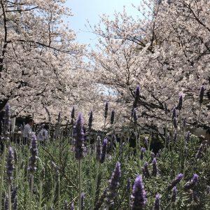 てくてく花散歩❀オフィス街の桃源郷