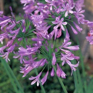7月に咲く花🌼 アガパンサス