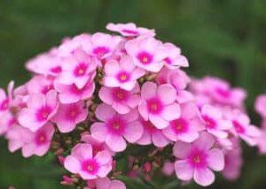 8月に咲く花*・゜゚・*:.。花魁草