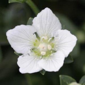 8月に咲く花咲く花*・゜゚・*梅鉢草