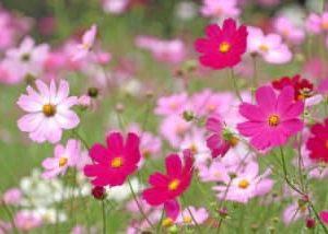 10月に咲く花*・゜゚・*:.。..。コスモス