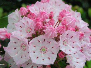 ❀今日の誕生花❀カルミア