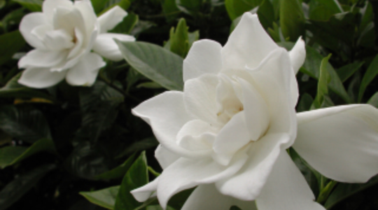 6月7日の誕生花  クチナシ